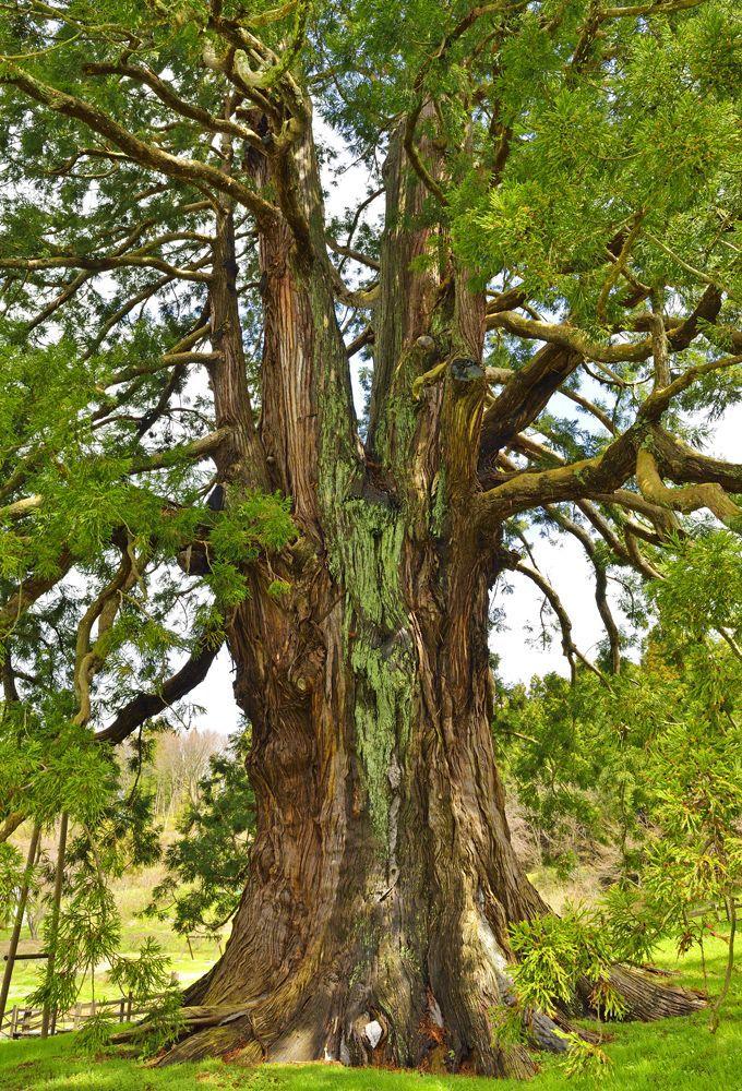東北最大級にして福島県最大の巨木