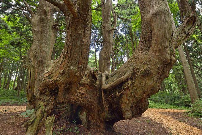 幻想の森の住人「土湯杉」って何だろう?