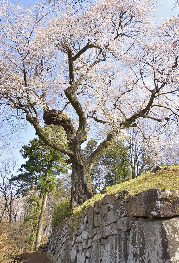 「御殿桜」真田氏の城跡に立つ歴史の証人