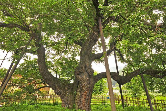 集落の暮らしを支えた養蚕の御神木