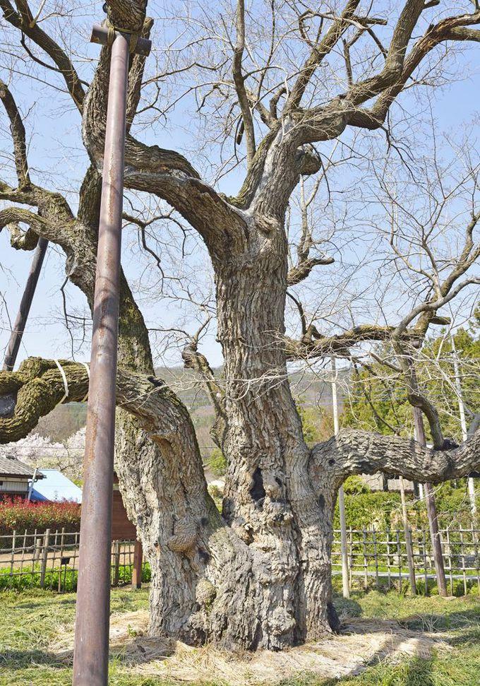群馬絹遺産の人々の生活と繋がった御神木