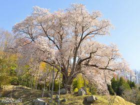 越代のサクラ・晩春の福島に咲き誇る一本桜の名木