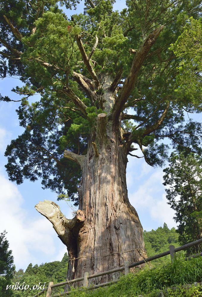 理想的な樹形の杉の巨木