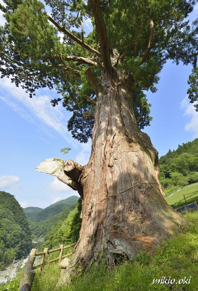 集落を災害から守った御神木
