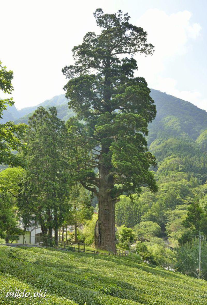 神奈川県で最大の巨木・箒スギ〜丹沢山地に立つ御神木〜