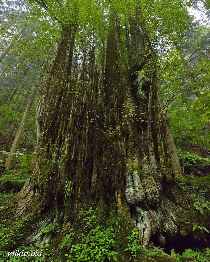 関東でも最大級のカツラの巨木