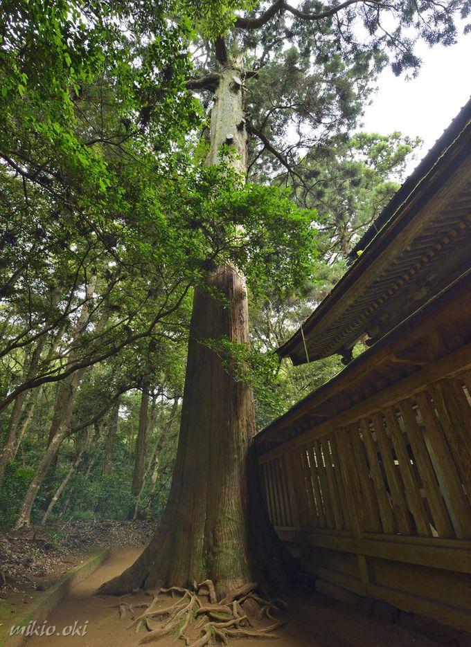 鹿島神宮の巨木・奥宮の御神木〜社叢の奥地に佇む古木