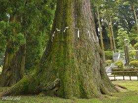 千葉県最大の巨木・清澄の大スギ~日蓮宗の大本山に立つ御神木|千葉県|トラベルjp<たびねす>