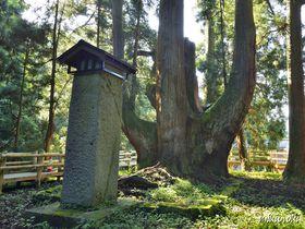 三川の将軍杉~水と緑の里・新潟の奥阿賀に立つ日本最大級の大杉|新潟県|トラベルjp<たびねす>