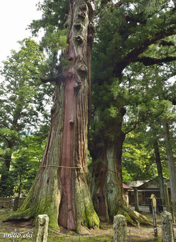逆杉は相生の巨木