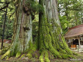栃木県で最大の巨木・逆杉~塩原温泉郷に立つ御神木|栃木県|トラベルjp<たびねす>