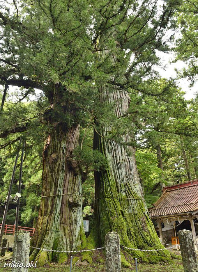 逆杉は栃木県で最大の巨木