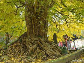 晩秋を飾る黄葉の名所・正法寺と高山不動~御神木は埼玉県で最大のイチョウの2トップ|埼玉県|トラベルjp<たびねす>