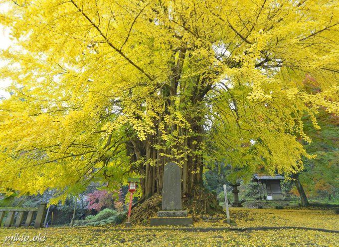 正法寺の大イチョウ〜埼玉県で最大のイチョウ