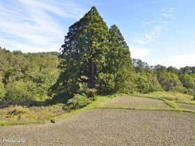 山形県で最大級の杉の巨木・松保の大杉~一樹で森を成す里山の御神木|山形県|トラベルjp<たびねす>