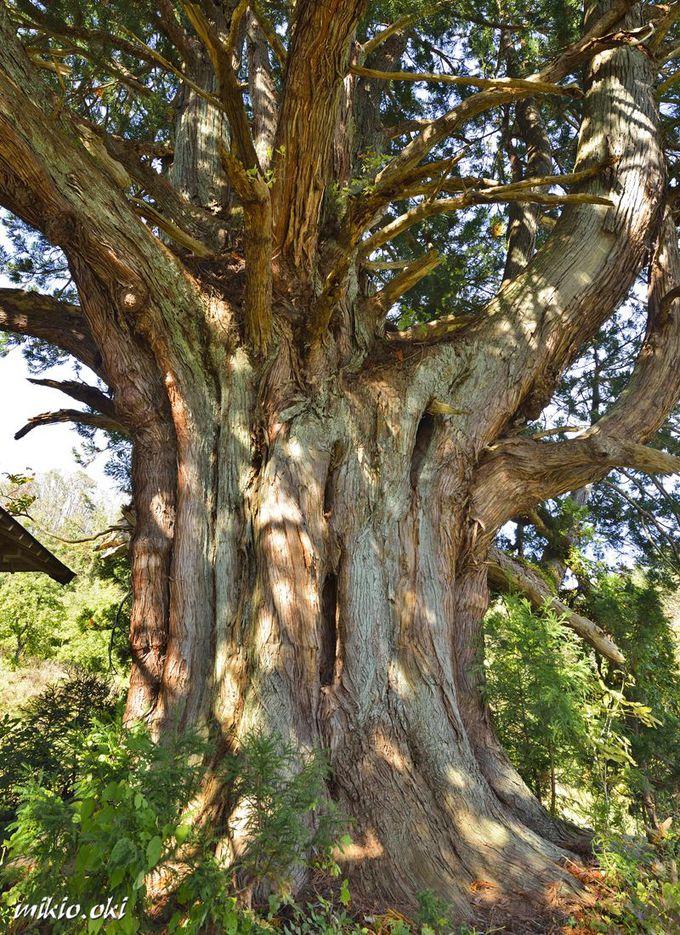 少々苦労しても辿り着きたい魅力の巨木