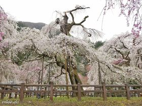 埼玉屈指の桜の名所・秩父清雲寺〜しだれ桜の大木が集う絢爛たる花園