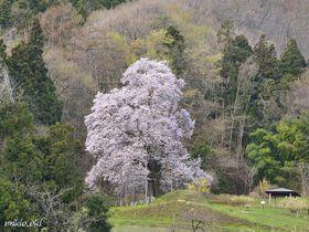 福島県の銘桜・秋山の駒ザクラ~里山の貴婦人たる美しき一本桜|福島県|トラベルjp<たびねす>