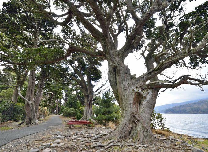 泉湧く岬を覆う神秘の森~沼津・大瀬崎のビャクシン樹林