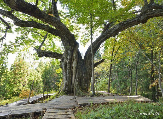 日本一の大きな栗の木の下で~山形・大井沢の大栗