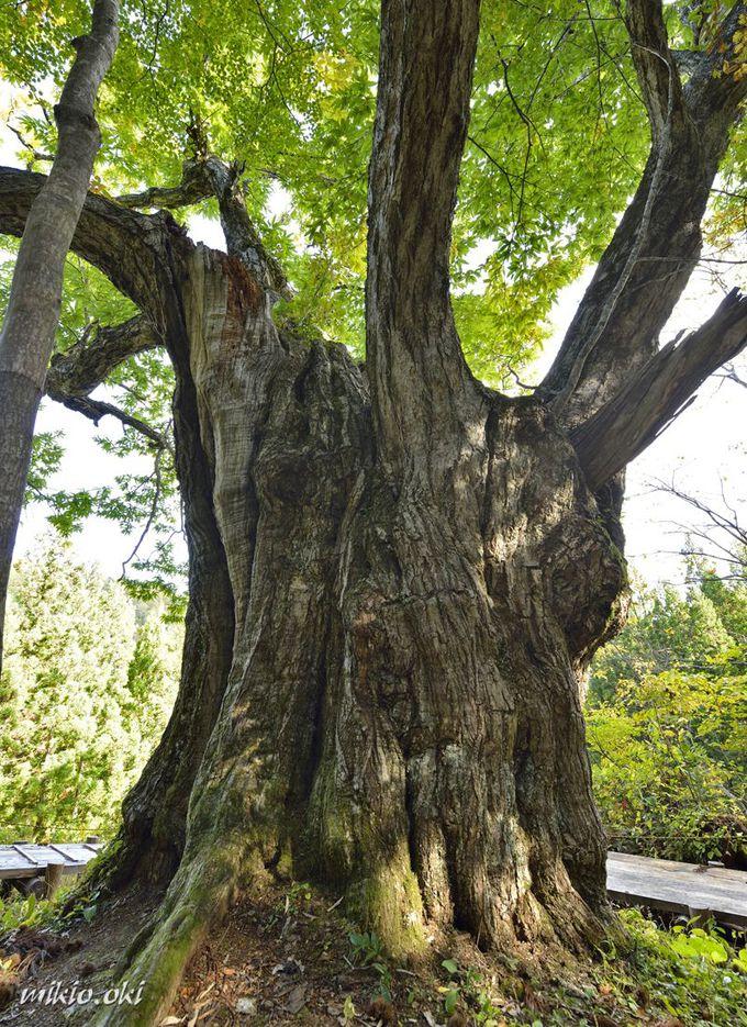 童謡の情景に相応しい栗の巨木