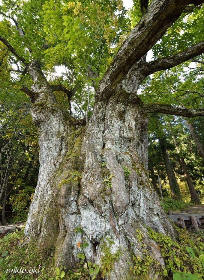 大井沢の大栗は全国的にも稀な栗の巨木