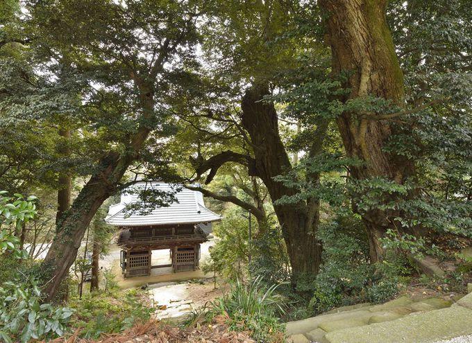 薬王院は椎の巨木の宝庫