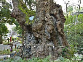 本州最大の神秘の巨樹に拝観〜熱海・来宮神社の大楠