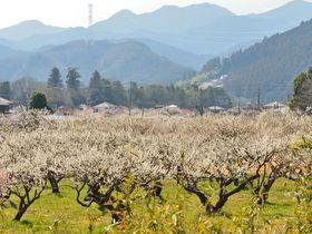 埼玉一の梅の里・越生で梅林の鑑賞と里山ハイキング