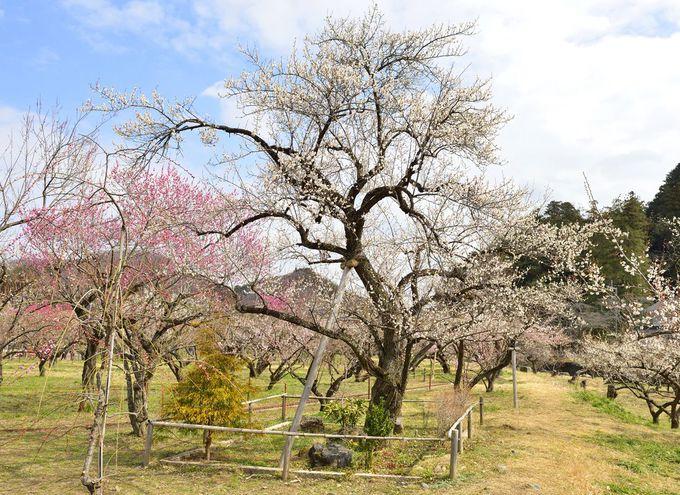 越生梅林の風雅な園内の様子