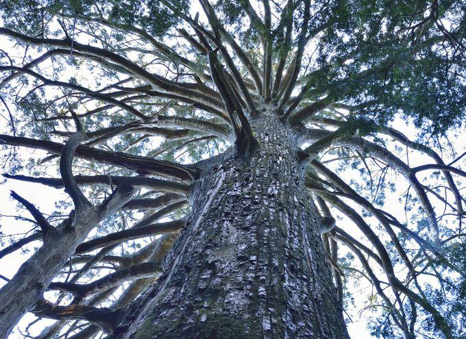 静岡の巨樹茂る神秘の霊場を拝観~千葉山智満寺の十本杉