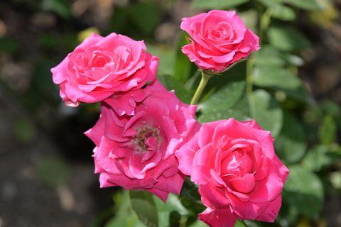 ブルガリアの特産品、バラの香りと「バラ祭り」に酔いしれる