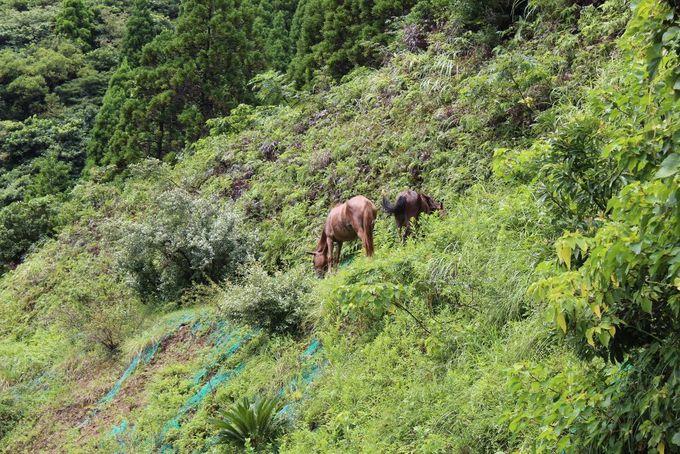 野生化した御崎馬に出会える「都井岬」