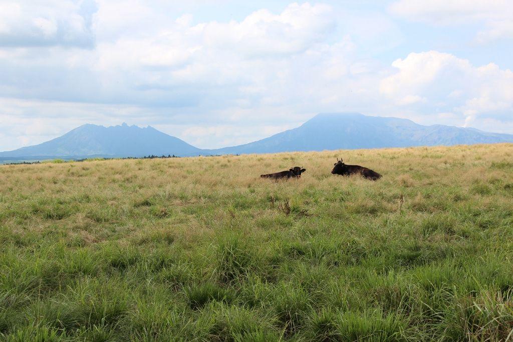 牛たちがのんびり過ごす草原から望む阿蘇五岳
