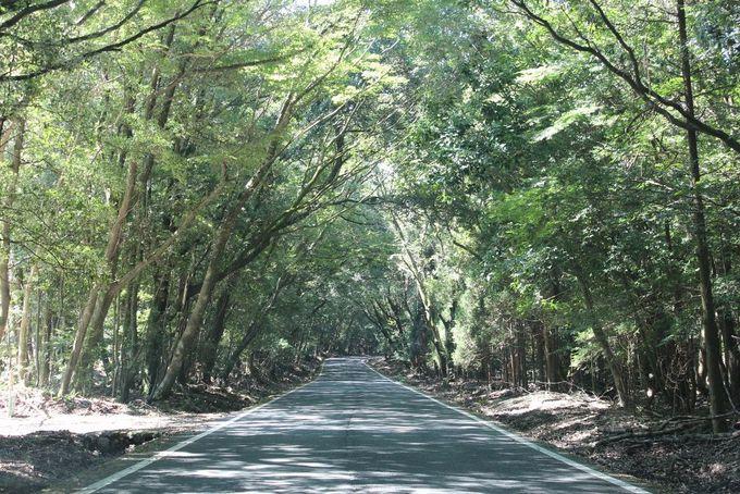 神秘的な原生林のトンネル「天孫降臨への道」