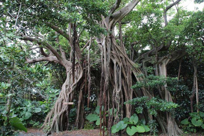 ジャングル気分を味わう「志戸子ガジュマル園」