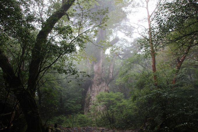 縄文時代の雰囲気そのままの異空間に到着!これが「縄文杉」