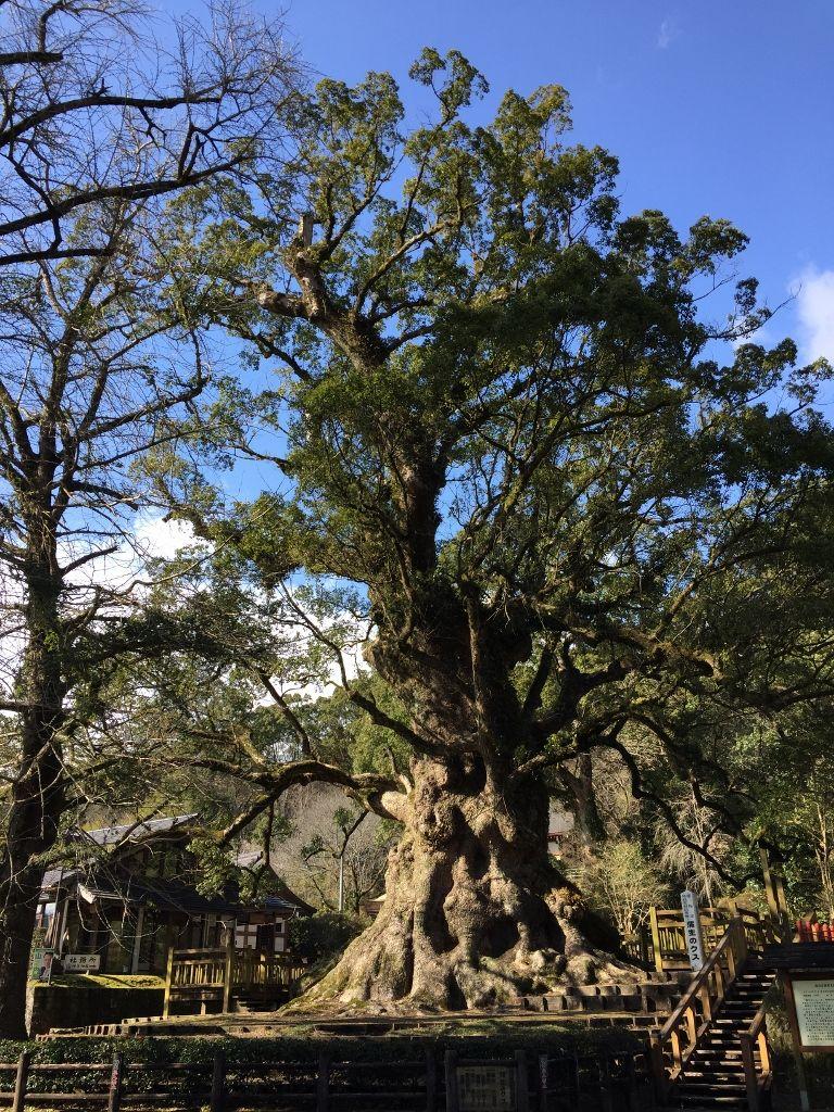 日本一の大樹「蒲生の大クス」