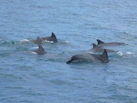 98%イルカに会える!?熊本県・天草のイルカウォッチング「シークルーズ」|熊本県|トラベルjp<たびねす>
