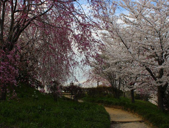 久延彦神社への近道は桜咲く丘の上