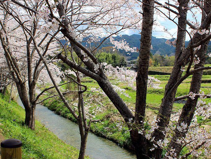 飛鳥川の桜並木とあすかルビーの苺狩り