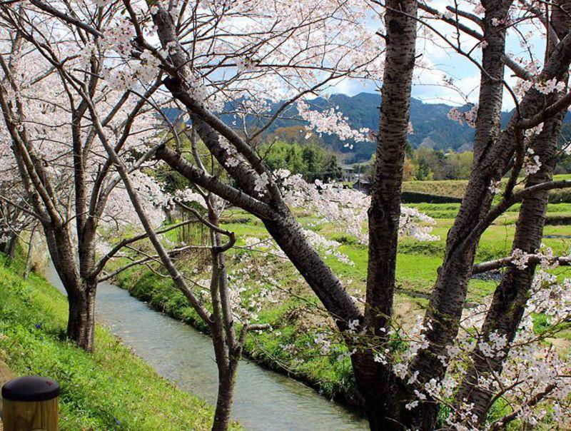 桜×菜の花×あすかルビー!春の奈良、明日香サイクリングのお勧めポイント!