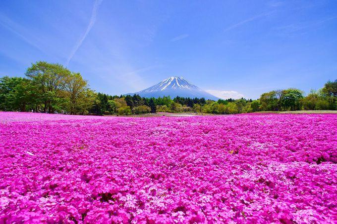 霊峰・富士山と富士芝桜まつりの色鮮やかな花畑!