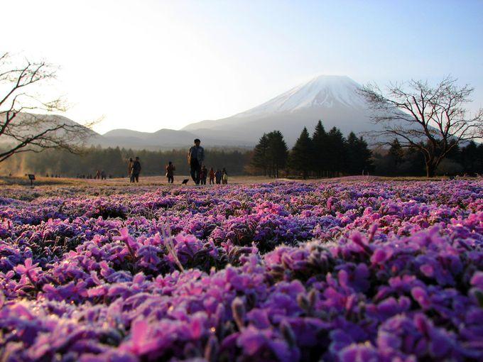 富士芝桜まつりのGWの混雑は?
