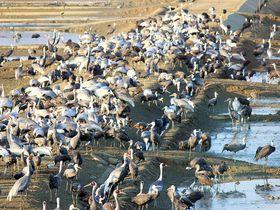 ツル多すぎ!シベリアから飛来するツルの群れ 鹿児島「ツル観察センター」|鹿児島県|トラベルjp<たびねす>