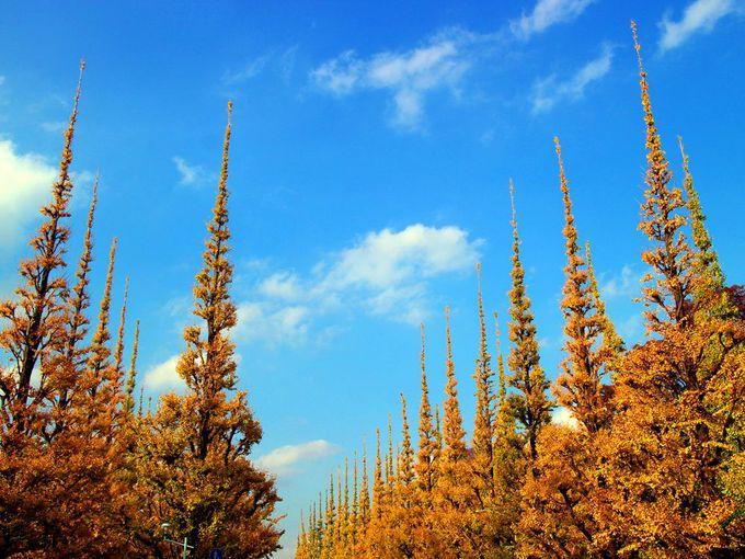神宮外苑はイチョウ並木が金色に