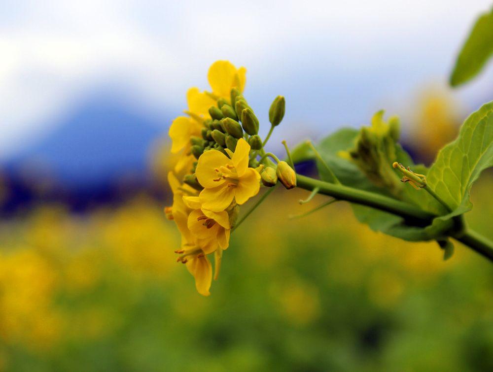 冬の指宿は菜の花満開の季節
