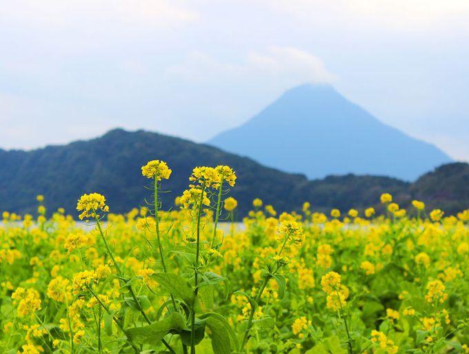 真冬の鹿児島を彩る黄色い絨毯!菜の花×開聞岳×池田湖