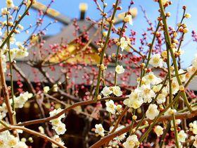 学業のパワースポットは梅の名所!東京・湯島天神梅まつり2017へ行こう|東京都|トラベルjp<たびねす>