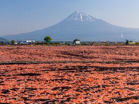 桜えびと富士山の奇妙な絶景!静岡「桜えび天日干し場」